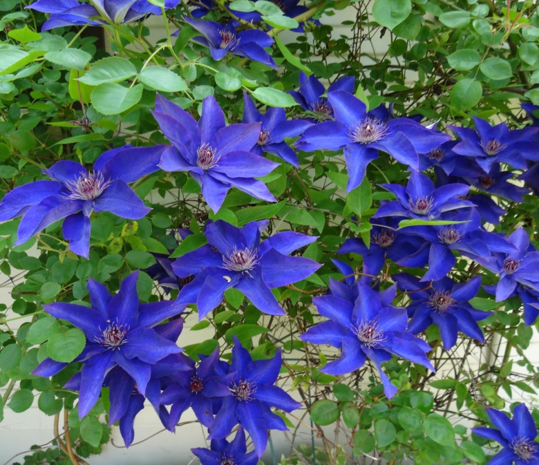 Clematis Blue